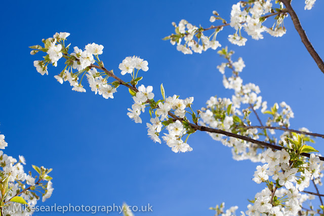 Cherry Blossom in cornwall