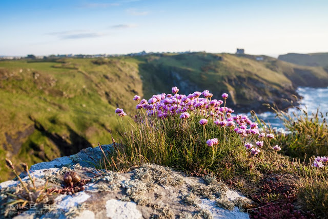sea thrift on a cliff in Tintagel cornwall