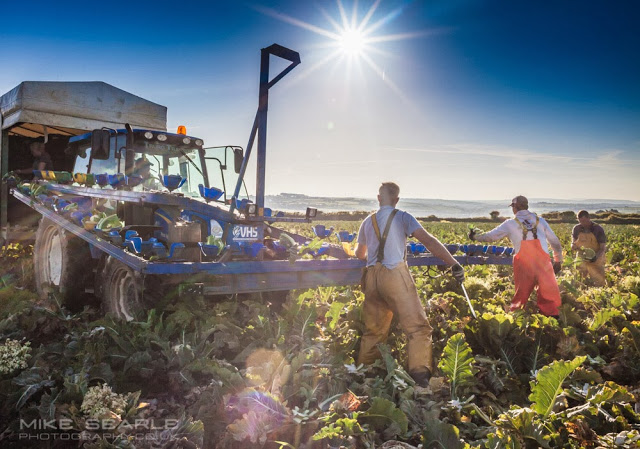 Lithuanian cauliflower pickers in Cornwall