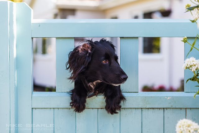 a black dog looks through a garden gate