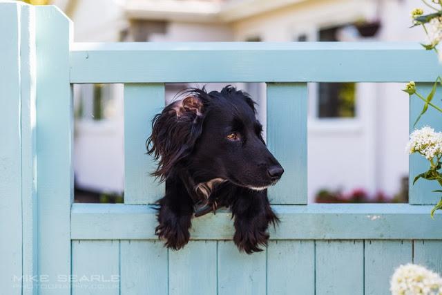 a black dog looks through a garden gate