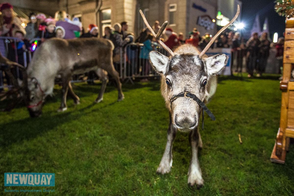 Reindeer in Newquay