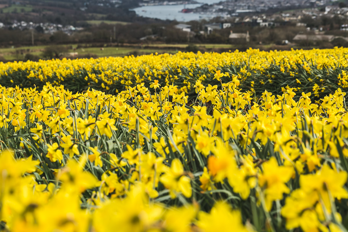 Daffodil field in Cornwall
