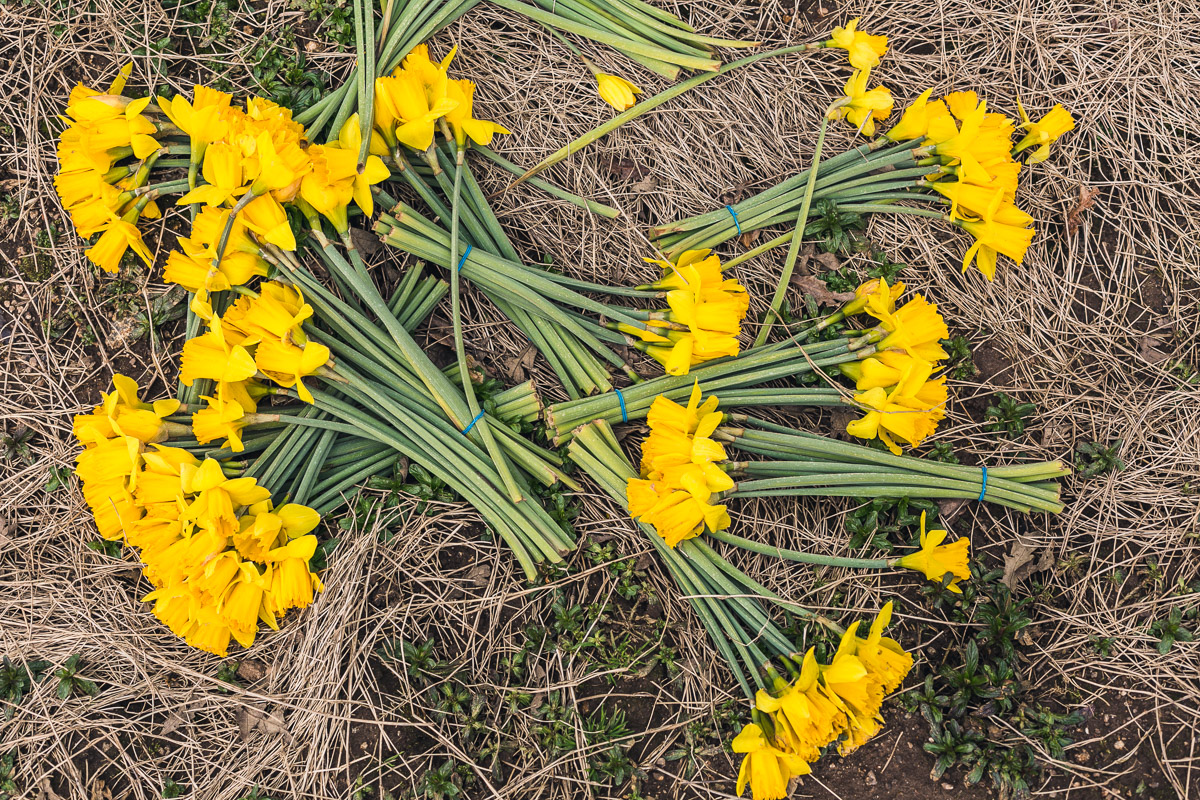 Bunches of daffodils in COrnwall