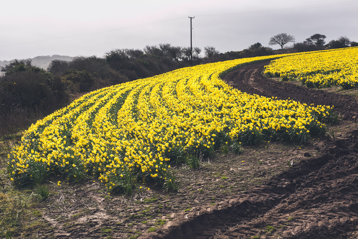 Daffodil field in Cornwall looking out to sea